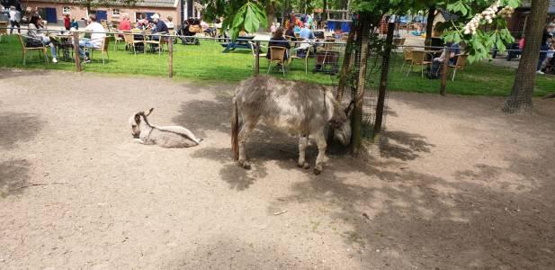 Bevers-hjbllanos-dondertman-ezel